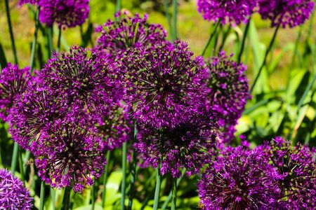 Beautiful purple flowers Allium giganteum, cultivar Globemaster Stockfoto