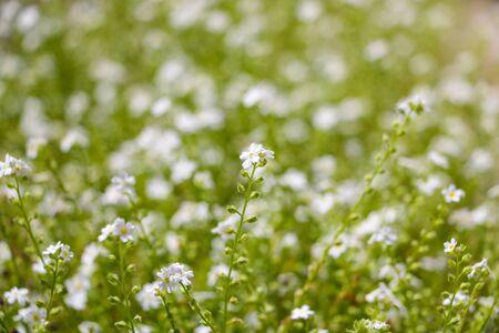 Galium odoratum, flowering herbs, field of herbs. Out of focus