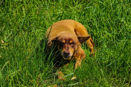 An old ginger stray dog lies in the green grass