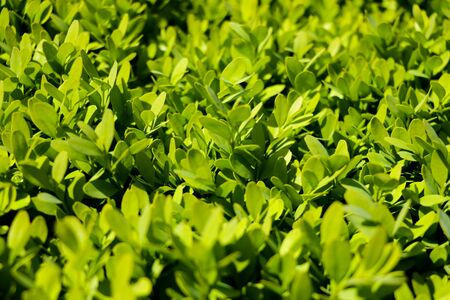Green leaves of bushes or trees, background