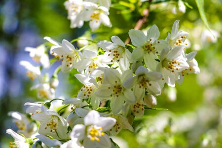 Soft light falls on a flowering branch of apple or cherry in spring or summer