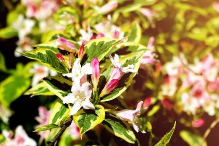 Closeup flowering branch of apple tree in spring or summer