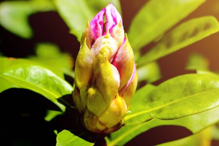 Large flower buds and green rhododendron leaves. Unopened rhododendron buds closeup