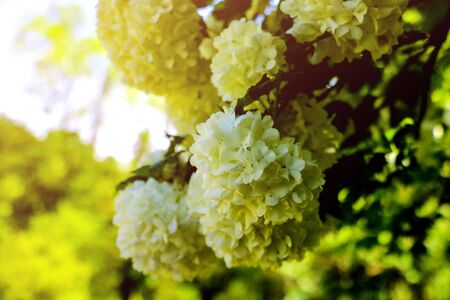 Bouquet of white hydrangea flower blossom in morning garden and green background 写真素材
