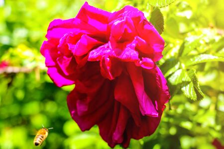 Bright red rose on a background of greenery in the garden