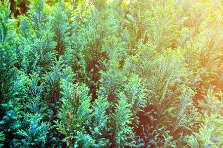 Green leaves pattern of Creeping juniper or Juniperus horizontalis Moench,leaf blur textured,nature background