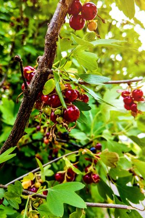Ripe red currants hanging from bush ready for harvest Stock fotó