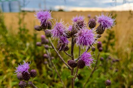 close up of Cirsium vulgare flower, the spear thistle, bull thistle, or common thistle, blooming in summer