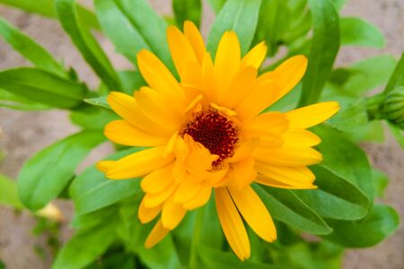 Sunny Calendula officinalis a plant in the genus Calendula of the family Asteraceae brighten up the garden with daisy - like flowers