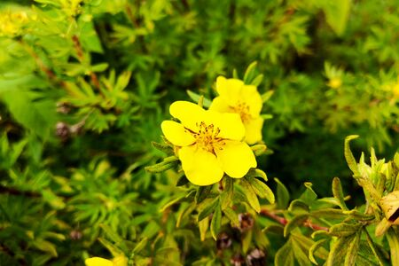 Common sundrops yellow flowers - Latin name - Oenothera fruticosa subsp. glauca