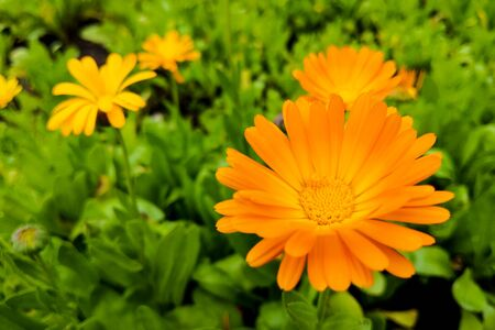 Calendula flower and leaf Calendula officinalis, pot, garden or English marigold plant, nature green background. Calendula flower on summer day. Closeup medicinal flower herb for tea or oil, top view