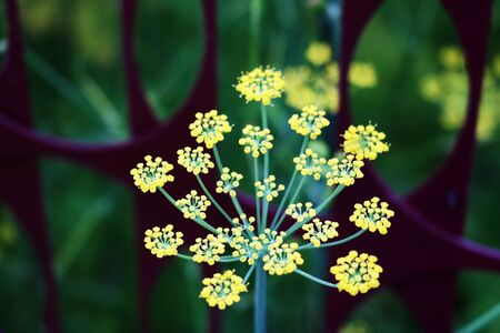 Globular umbels of Angelica archangelica, garden angelica or wild celery white flowers close up Stock Photo