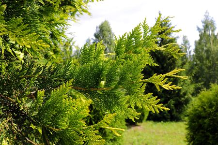 Beautiful park with green thuja, nature photo