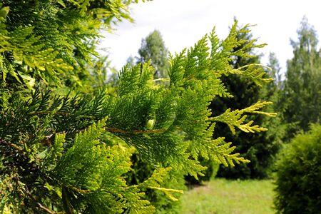 Schöner Park mit grünem Thuja, Naturfoto