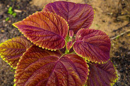 Plant texture structure leaves nature. Coleus blumei