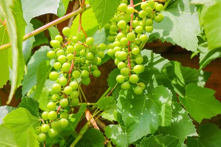 Ripe grapes. Harvest the young wine. The background of green grapes Zdjęcie Seryjne
