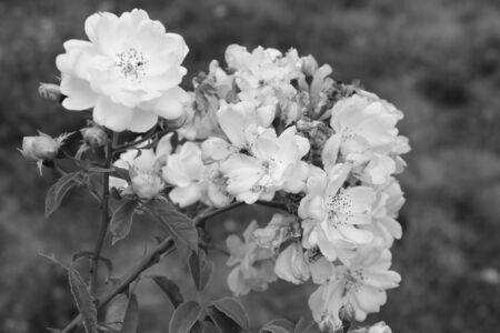 Rose buds in the garden black and white photo 免版税图像