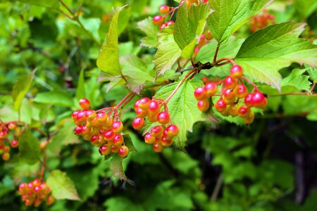 Cluster of a red currant on a branch Stock fotó
