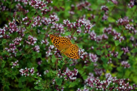 Beautiful butterfly pollinates flowers in the garden in spring or summer