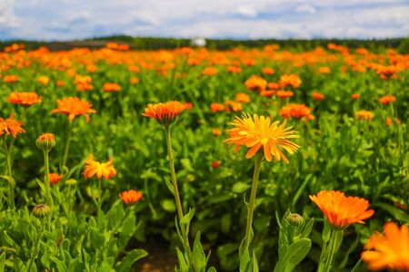 Orange pot marigold. Calendula officinalis field, nature Stock Photo