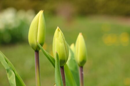 Green leaves and non-blooming tulip bud in a garden or park. Selective focus