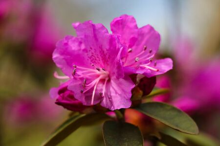 Beautiful pink Rhododendron in the garden. Selective focus