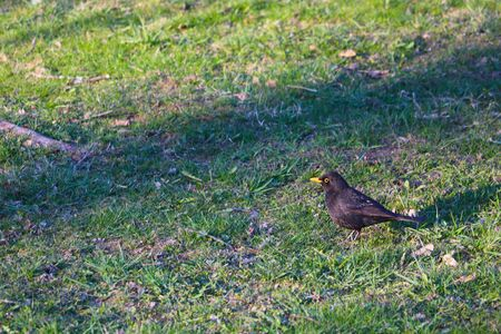 Starling walks on a green lawn in search of food