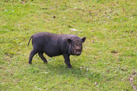 Small undersized black pig on a green lawn. Selective focus Stockfoto