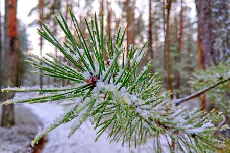 Young green pine branch in the snow Archivio Fotografico