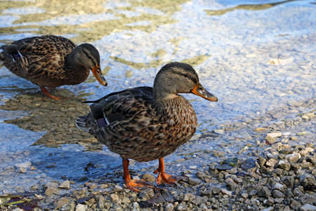 Wild ducks come out of the water to the shore