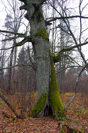 Large old dry poplar. Part of the trunk was covered with moss