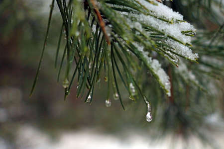 View of a pine branch with snow and water drops. Selective focus Stockfoto