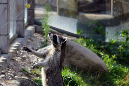 The raccoon stands on its hind legs and asks for food