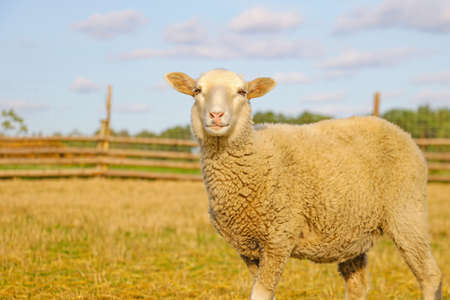 A beautiful light lamb stands and looks straight. Pets