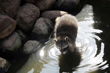 A raccoon is washed with water in an animal park