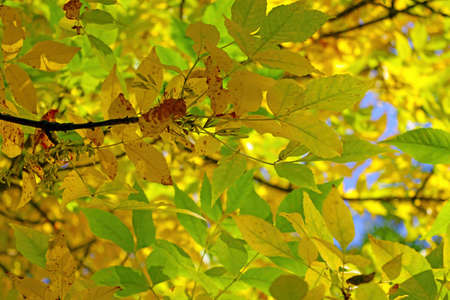 Branch of a tree with yellow-green leaves in autumn