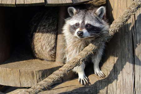 The raccoon looks out from his wooden tree house