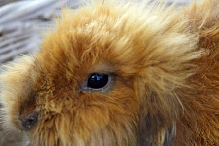 A beautiful ginger rabbit is sitting close-up in a basket