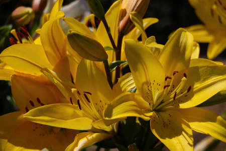 Bright yellow lily flowers bloom in the garden in spring