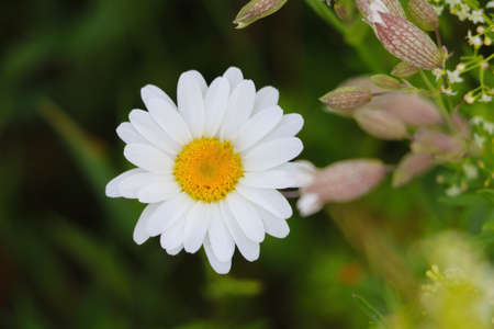 Beautiful blooming chamomile on a sunny spring day Standard-Bild