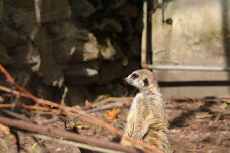 The meerkat stands on its hind legs and tail helps