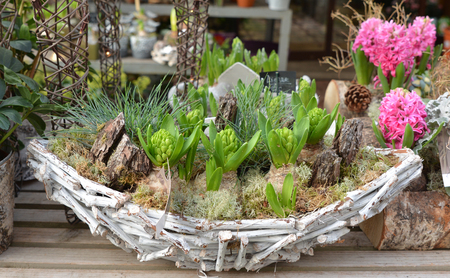 Composition of hyacinths in a wooden basket with moss. Stock Photo