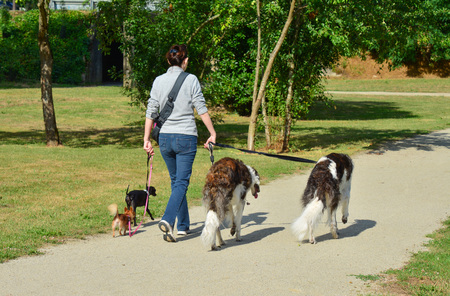 A woman is walking different breeds of dogs simultaneously in a park Foto de archivo