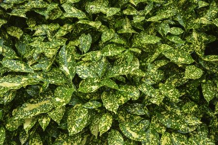 노란색 패치와 비 방울이있는 녹색 ficus 부시 스톡 콘텐츠