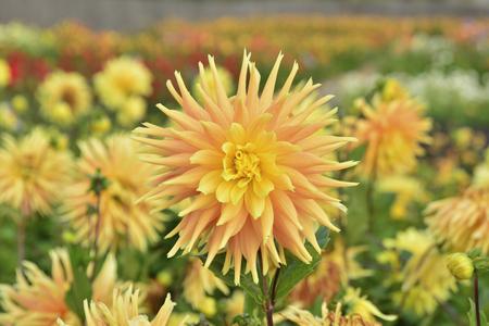 Field of dahlia yellow 版權商用圖片