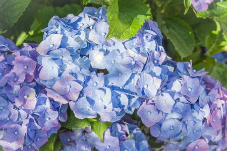 bBue hydrangea flowers Hortensia flower in summer