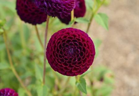 Bulb of dahlia red burgundy flowers Closeup Imagens