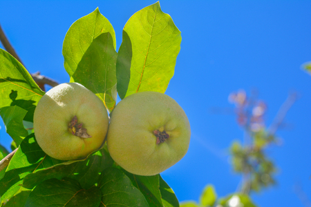 Quince fruit with leaves on a branch Sky background