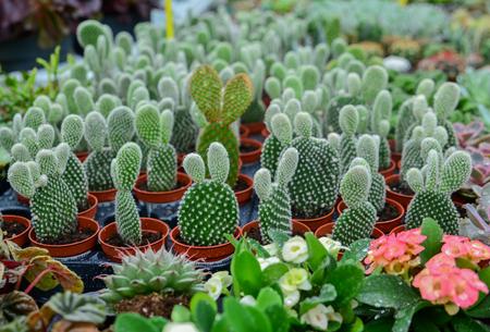A lot of bunny ears cactus pot or mickey mouse cactus pot Stock Photo - 105035990