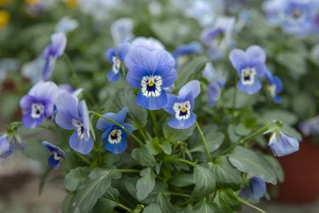 Blue flowers pansies grown in a greenhouse